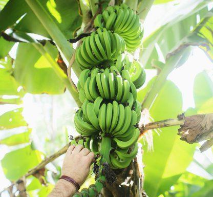 Gröna bananer
