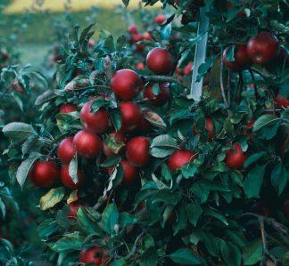 Sommaräpplen